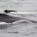 ballenas en Cerdeña