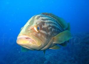pez dorada