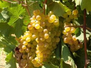Vitigno di uva Vermentino