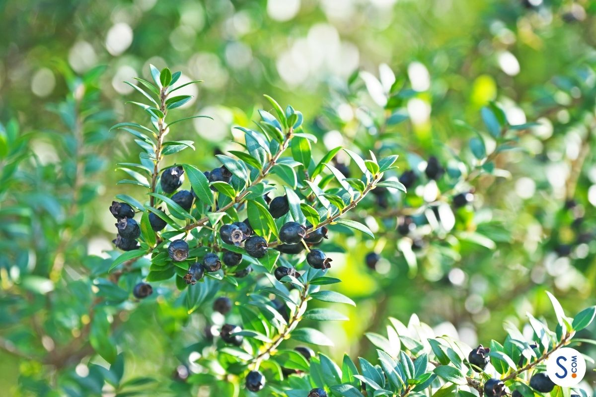 Storia del Mirto: la pianta simbolo della Sardegna